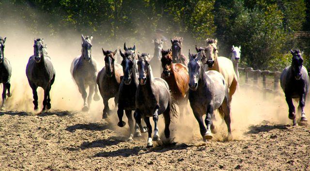 Auftrieb der Pferde in der Pussta